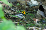 Blackburnian Warbler (Dendroica fusca)