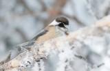 Birds in Sweden , passerines