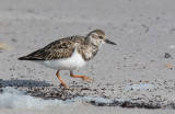 Ruddy Turnstone (Arenaria interpres)