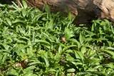 Ramslök (Allium ursinum)
