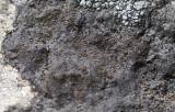 Grå orangelav (Caloplaca scotoplaca)