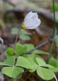 Harsyra (Oxalis acetosella)