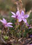 Skatnäva (Erodium cicutarium)