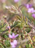 Luddlosta (Bromus hordeaceus)