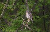 Broad-winged Hawk (Buteo platypterus)