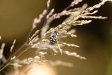 Vit glasvingefluga (Scaeva pyrastri)