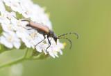 Fläckhornad blombock (Paracorymbia maculicornis)
