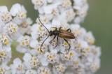 Sidenblombock (Pseudovadonia livida)