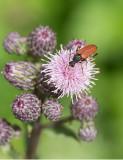 Tegelbock (Anastrangalia sanguinolenta)