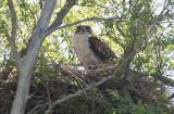 Ferruginous Hawk (Buteo regalis)