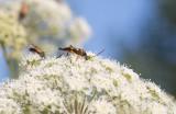 Smalvingad blombock (Strangalia attenuata)