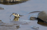 Vanlig snok (Natrix natrix)