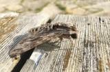 Åkervindesvärmare (Agrius convolvuli)