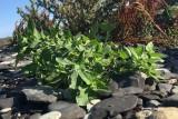 Bägarnattskatta (Solanum physalifolium)