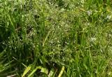 Gotlandssvalting (Alisma lanceolatum)