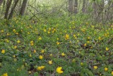 Vildtulpan (Tulipa sylvestris)