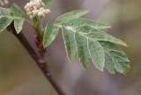 Garderönn (Sorbus atrata)