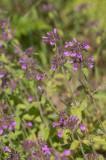 Rödplister (Lamium purpureum)