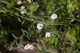 Nysört (Achillea ptarmica)