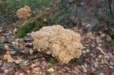 Blomkålssvamp (Sparassis crispa)