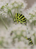 Makaonfjäril larv (Papilio machaon)