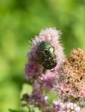 Gräsgrön guldbagge (Cetonia aurata)