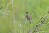 Alder Flycatcher (Empidonax alnorum)