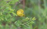Yellow Warbler (Setophaga aestiva)
