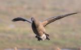 Brant Goose (Branta bernicla)
