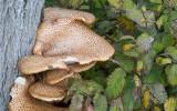 Fjällticka (Polyporus squamosus)