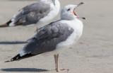 Steppe Gull (Larus fuscus barabensis)