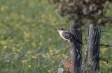 Great Spotted Cuckoo (Clamator glandarius)