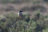 Iberian Grey Shrike (Lanius meridionalis)