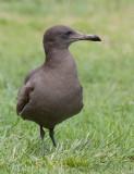 Heermann´s Gull (Larus heermanni)