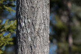 Asp (Populus tremula)