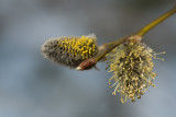 Sälg (Salix caprea)