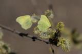 Citronfjäril (Gonepteryx rhamni)