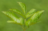 Kirskål (Aegopodium podagraria)