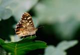 Kvickgräsfjäril (Pararge aegeria)