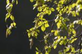 Glasbjörk (Betula pubescens)