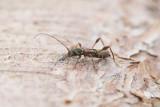 Kortvingad granbock (Molorchus minor)