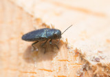 Blå praktbagge (Phaenops cyaneus)