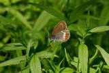 Brun gräsfjäril (Coenonympha hero)