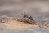 Större tallkvistbock (Pogonocherus fasciculatus)