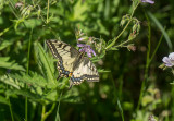 Makaonfjäril (Papilio machaon)