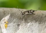 Lindbock (Oplosia cinerea)