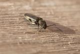 Strimmig barkbock (Asemum striatum)