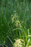 Skogssäv (Scirpus sylvaticus)