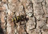 Lövgetingbock (Clytus arietis)
