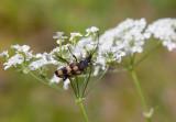 Trebandad blombock (Judolia sexmaculata)
